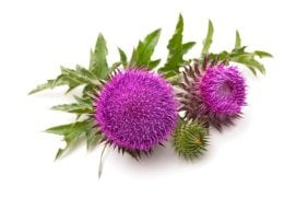 Milk thistle uses in detox tea